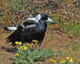 A Magpie Bird!