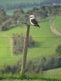 Kookaburra Bird With Uncanny Loud Cackling!