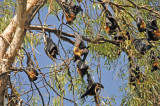 Singing Bats