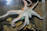 Large Octopus - View of Many Suction Cups