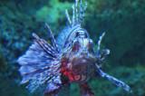 Unique Blue Lion Fish