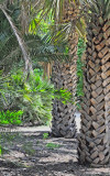 Unusual Palm Trunks