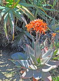 A different,  Agave-type Plant in Bloom