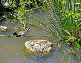 Mallard in Pond Area