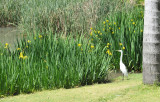 Egret checking out solid ground