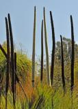 Long shoots of Cactus Plants