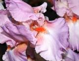 Iris, -4-