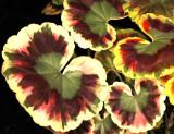 Variagated Geranium, -19-