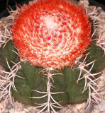 Cactus with Red Flower on Top, -16-