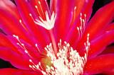 Epiphyllum, -32-