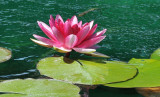A red water lily in the pond.