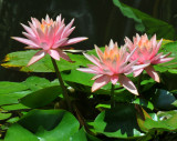 A Trio of Pink Water Lilies