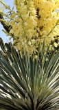 Yucca Growth in Desert Area