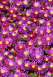 Lovely Light Purple Ice Plant With Bee Above Center