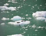 Four Seals on Ice Flow, near Skagway, Alaska