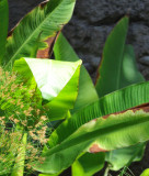 Tropical Leafy Plant with Bright Triangular Patch