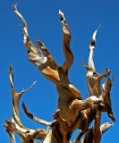 Ancient Bristle Cone Pines; White Mountains, CA