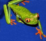Red-Eye Tree Frog; Costa Rica