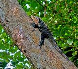 Iguana, up a Tree!; Costa Rica