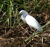 White Heron; Costa Rica