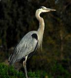 Great Gray Heron; Irvine, CA