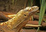 Komodo Dragon; Seattle Zoo, WA