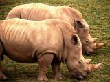 Twin Rhinos; S.D. Animal Park. CA
