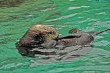 Otter; Oregon Aquarium
