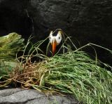 Shy Puffin!; Oregon Aquarium
