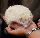 Albino Hedgehog; Dana Pt., CA.