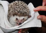 Shy Hedgehog; Dana Pt., CA.
