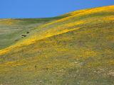 View of the Wildflowers; Tejon Pass, CA