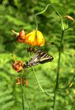 Monarch Butterfly on Tiger Lily; Mt. Home, CA.