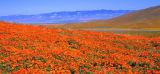 California Poppy Field; Lancaster, CA