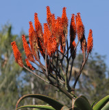 Lovely Blossoms from Agave-type Plant