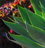 Agave Leaves and Flowers in the distance