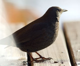 Grace of  the Common Black Bird