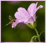Little King Bee