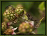 Family Bug on the Blackberries