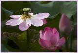 Family Lotus