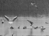 DELTA YELLOW RIVER BIRDS in BW