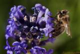 The Hairy Bee