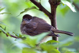 Little Sparrow in a Tree (Hybiscus)