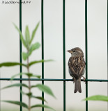 Great Sparrow in a Japanese Design