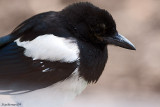 A quick Visiter my Magpie