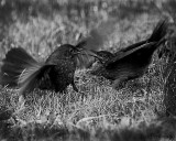 Battle of Blackbirds