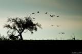 Cranes in flight.Morning.