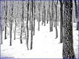 La SCHLUCHT.TREES  in SNOW CLOTHE in VOSGES