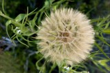 Anyone know what this is?  It's huge, not a dandelion.