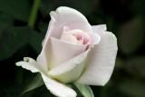 WWII Memorial Rose